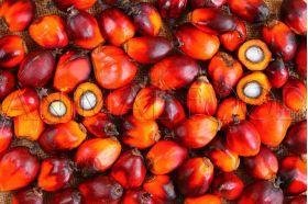 Palmové ořechy (Elaeis guineensis)